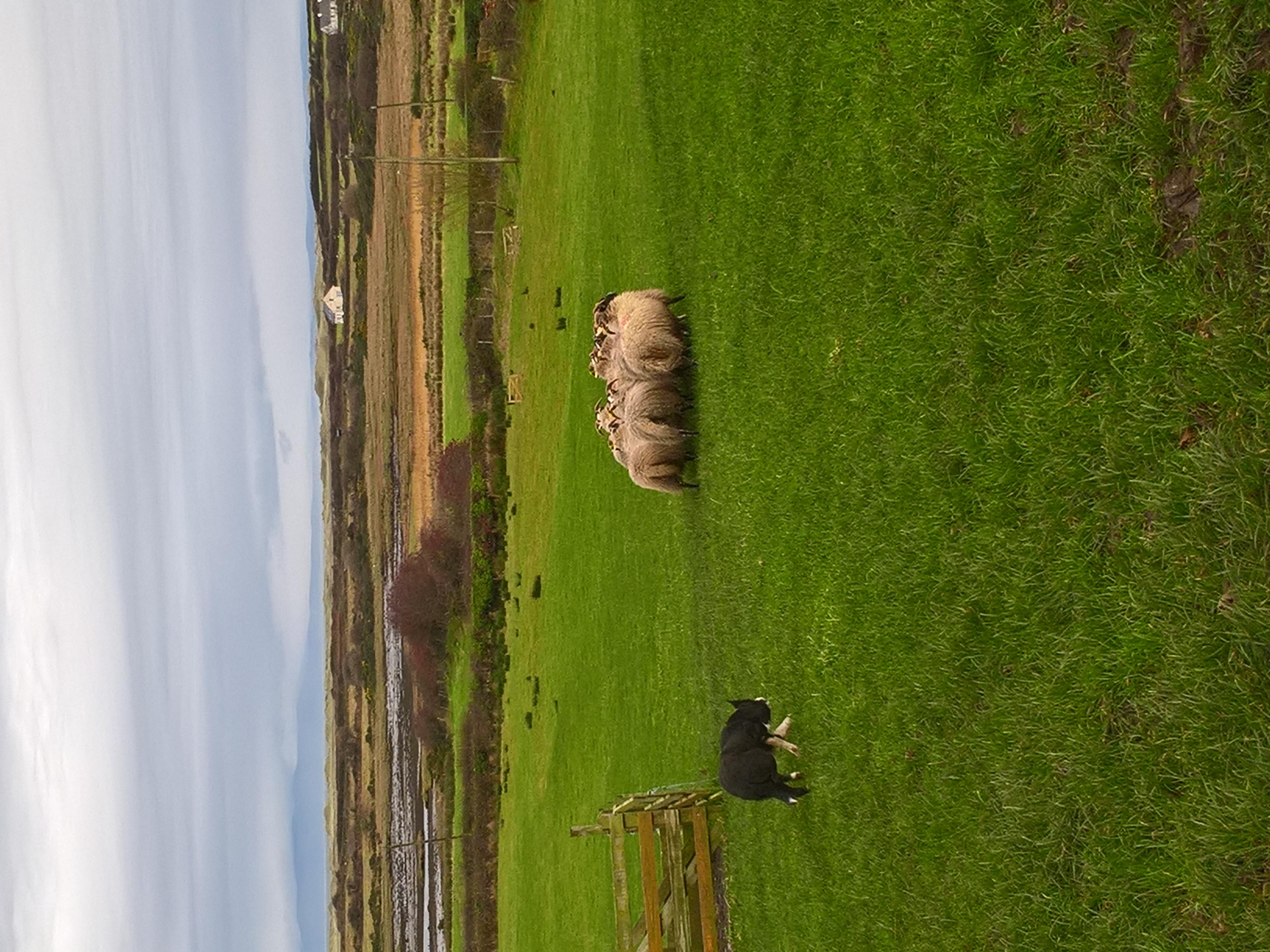 Atlantic Sheepdogs