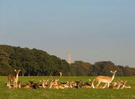 Deer relaxing in Phoenix Park, Dublin