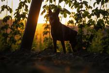 Hopfenhund