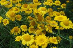 Blumen gelb.jpg