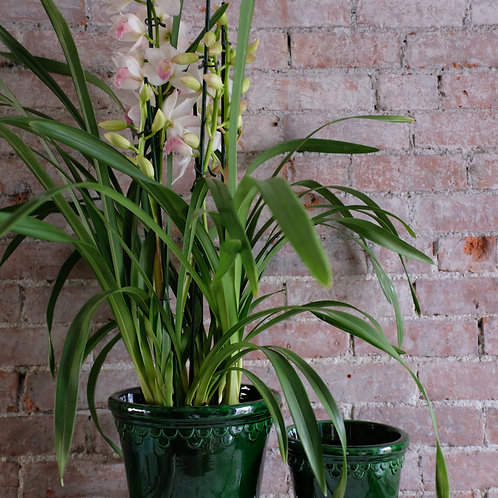 Cymbidium Orchid in Deep Green Pot