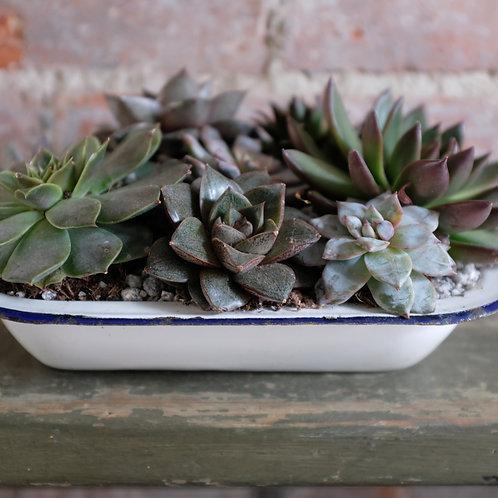 Succulents in a Vintage Enamel Pie Dish