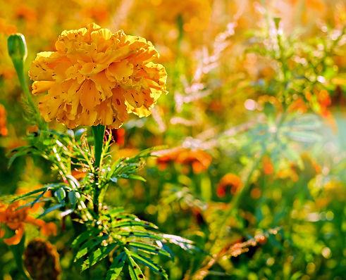 marigold-2862426_1920.jpg