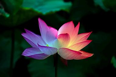 lotus-flower-5151674_960_720.webp