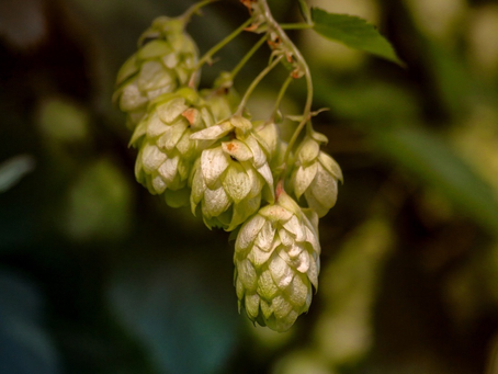 Hops: The Calming Botanical & Digestive Bitter in Beer