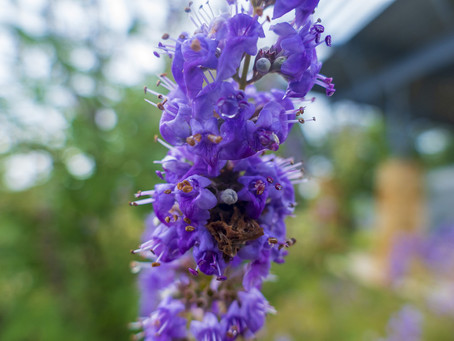 Vitex: Chaste Berry for Menstrual Moons, Female Hormones & Sensual Boost