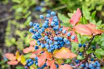 wild-blueberries-1525441_1920.jpg