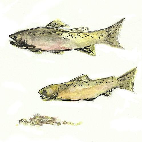 Brown trout pair card