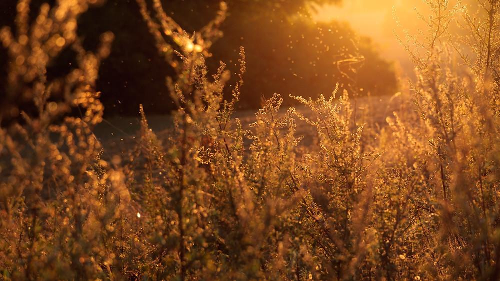 Lammas Day | The first harvest | Morvenna
