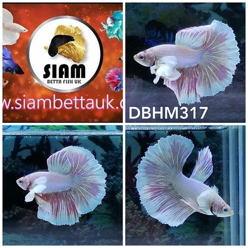 DBHM317 DUMBO HALFMOON MALE BETTA
