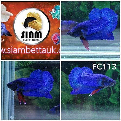 FC113 FANCY HMPK MALE BETTA