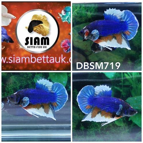 DBSM719 DUMBO HMPK MALE BETTA
