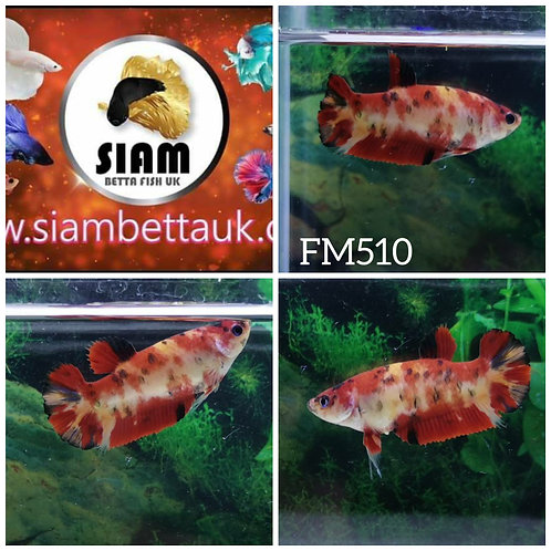 FM510 KOI FANCY HMPK FEMALE BETTA