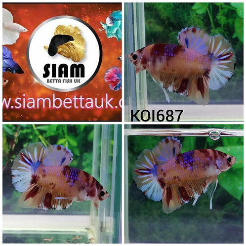 KOI687 FANCY KOI HMPK MALE BETTA