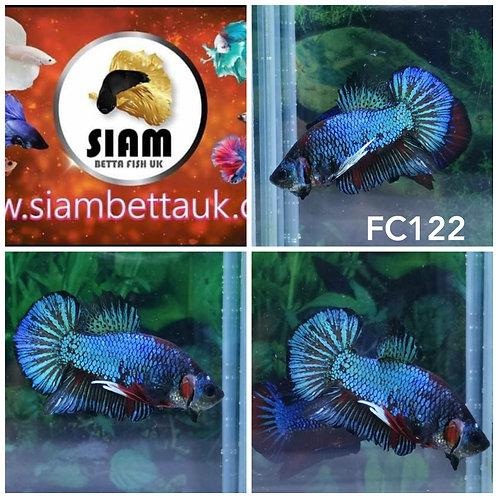 FC122 FANCY HMPK MALE BETTA
