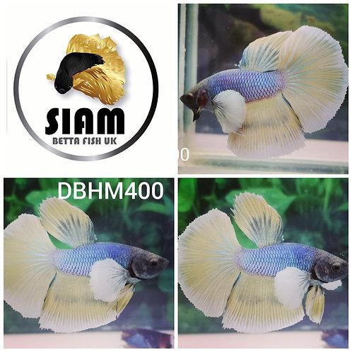 DBHM400 DUMBO HALFMOON MALE BETTA