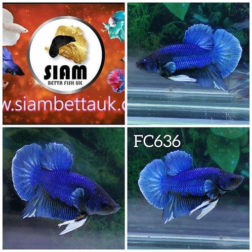 FC636 FANCY HMPK MALE BETTA