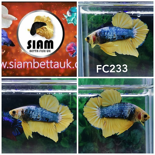 FC233 FANCY HMPK MALE BETTA