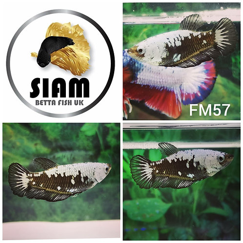 FM57 BLACK SAMURAI FEMALE BETTA
