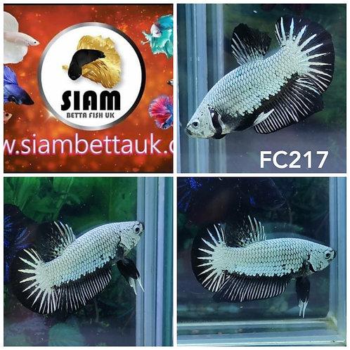 FC217 BLACK DRAGON HMPK MALE BETTA