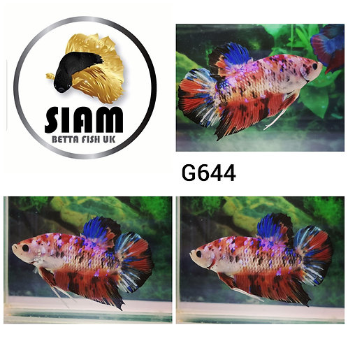 G644 GIANT KOI HMPK MALE BETTA