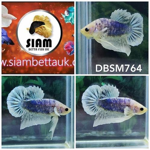 DBSM764 DUMBO HMPK MALE BETTA