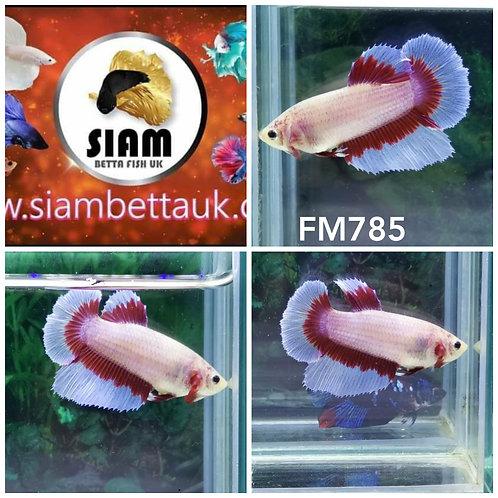 FM785 FANCY HALFMOON FEMALE BETTA