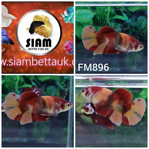 FM896 KOI HMPK FEMALE BETTA