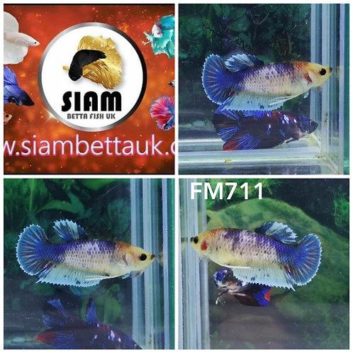 FM711 FANCY HMPK FEMALE BETTA