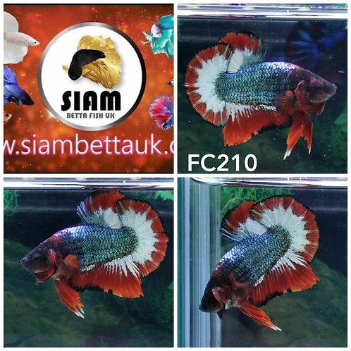 FC210 FANCY HMPK MALE BETTA