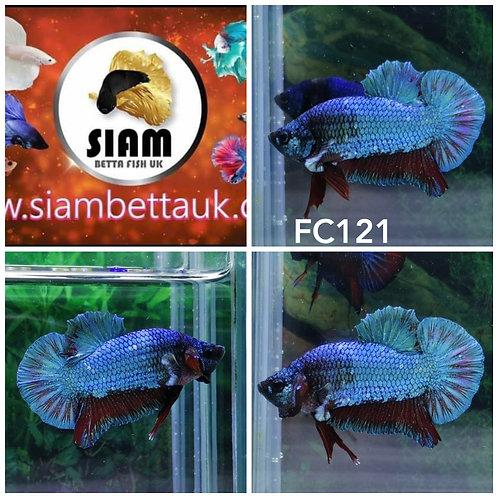 FC121 FANCY HMPK MALE BETTA