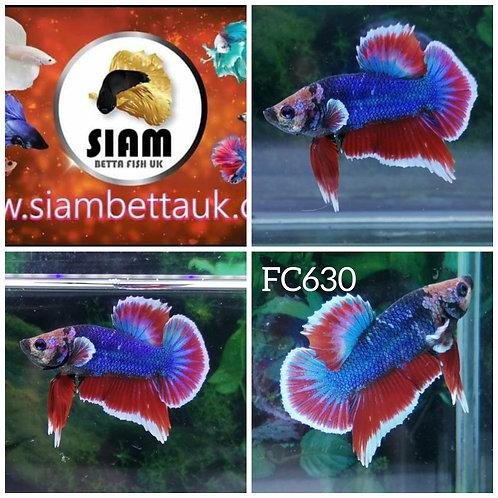 FC630 FANCY HMPK MALE BETTA