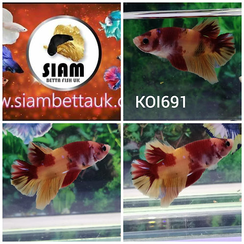 KOI691 KOI FANCY HMPK MALE BETTA