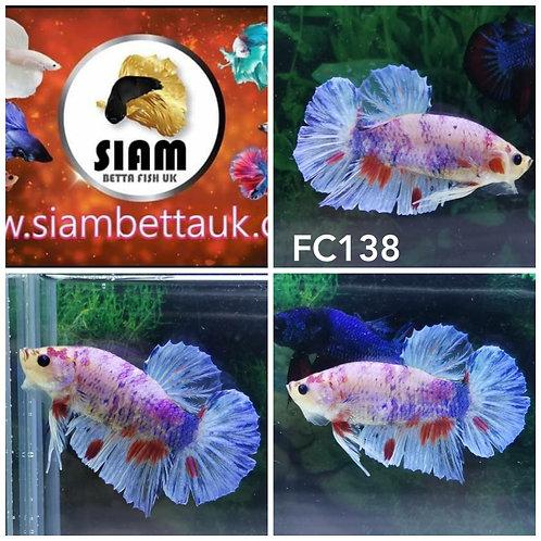 FC138 FANCY HMPK MALE BETTA