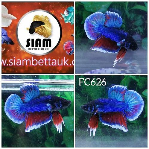FC626 FANCY HMPK MALE BETTA