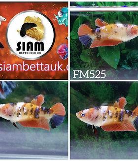 FM525 FANCY KOI HMPK FEMALE BETTA
