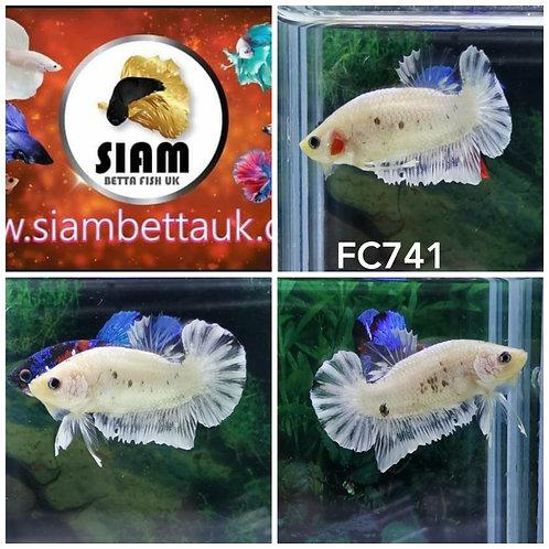 FC741 FANCY HMPK MALE BETTA