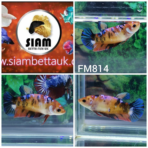 FM814 KOI FANCY HMPK MALE BETTA