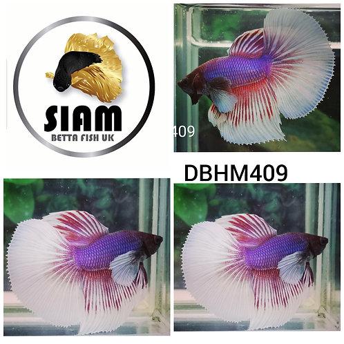 DBHM409 DUMBO HALFMOON MALE BETTA