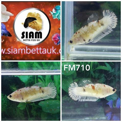 FM710 FANCY KOI HMPK FEMALE BETTA