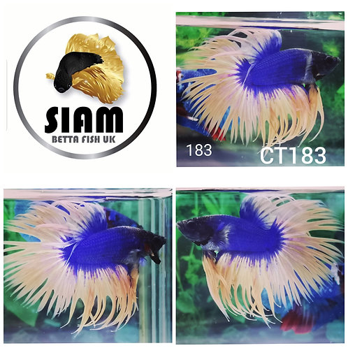 CT183 CROWNTAIL MALE BETTA