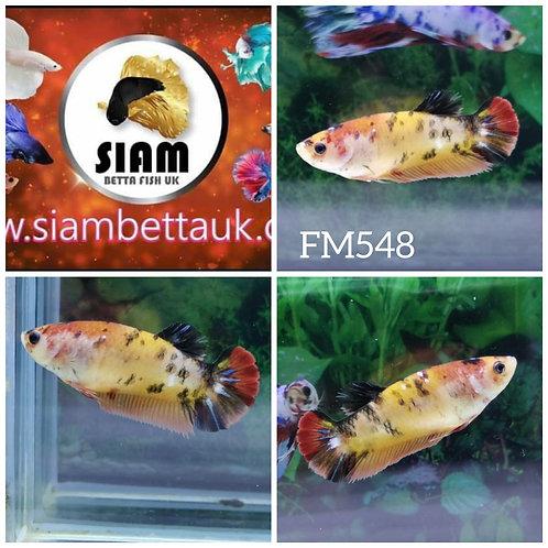 FM548 FANCY KOI HMPK FEMALE BETTA
