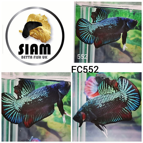FC552 FANCY HMPK MALE BETTA