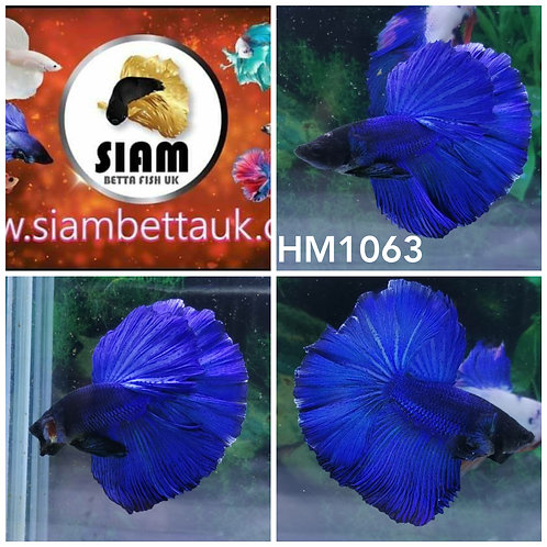 HM1063 BLUE HALFMOON MALE BETTA