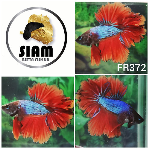 FR372 FEATHER TAIL MALE BETTA