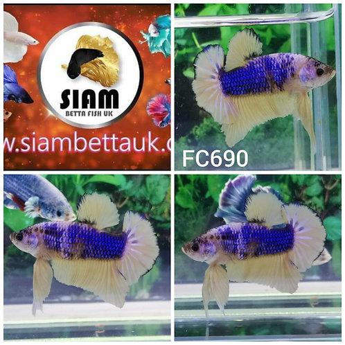 FC690 FANCY HMPK MALE BETTA