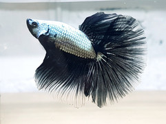 Black Dragon Betta