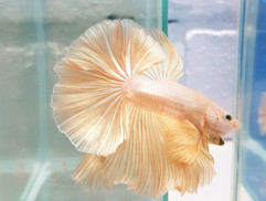 Gold Halfmoon Betta