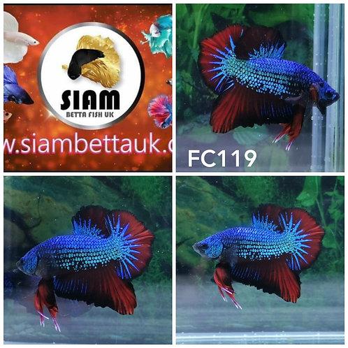FC119 FANCY HMPK MALE BETTA