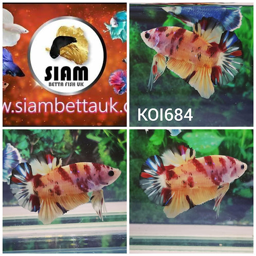 KOI684 KOI FANCY HMPK MALE BETTA